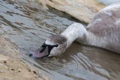 Swan close up Malta royalty free stock photo
