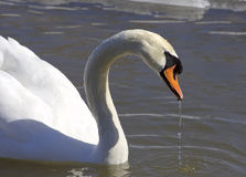 The swan is drinking the water Stock Photos