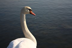 Swan. Is drinking water and resting Royalty Free Stock Photo