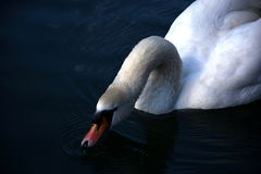 Swan drinking. White swan drinking water in the river stock photography