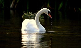 Swan Droplets Stock Photography