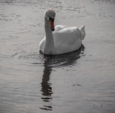 Swan and drops of water Stock Photography