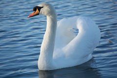 A Swan drying it's wings Royalty Free Stock Photography