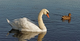Swan and a duck. Royalty Free Stock Photography
