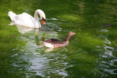 Swan and duck Stock Image