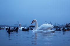 Swan, duck, gulls and bald-coots. Swans, ducks and gulls in the seaport waters on a cloudy winter day royalty free stock image