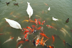 Swan and duck with koi fish swimming in pond Stock Photography