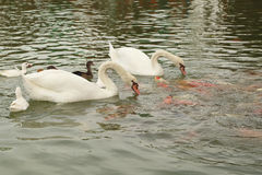 Swan and duck with koi fish swimming in pond Stock Image
