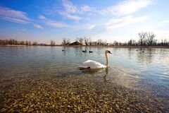 Swan and duck on the lake Royalty Free Stock Photography