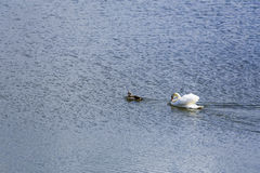 Swan and duck on a lake Stock Photo
