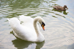 Swan and a duck swimming in the lake Royalty Free Stock Photos