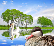 Swan and duck on water level Royalty Free Stock Photo