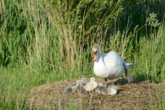 Swan with ducklings Royalty Free Stock Image
