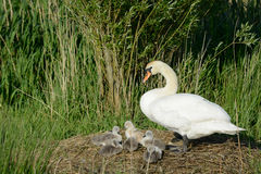 Swan with ducklings Royalty Free Stock Photos