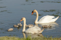 Swan and ducklings Stock Image