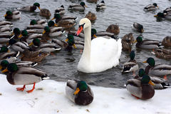 Swan and ducks Stock Photo
