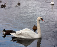 Swan and ducks Royalty Free Stock Photos
