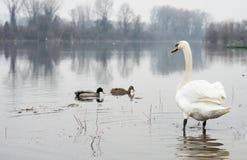 Swan and ducks Stock Photos