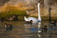 Swan and ducks royalty free stock photo