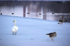 Swan and ducks on frozen river. Swan and ducks on the frozen river Stock Photography