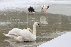 Swan and ducks at the lake Stock Photos