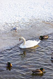 Swan and Ducks at Langelinie Park Promenade in winter Copenhagen Stock Photo