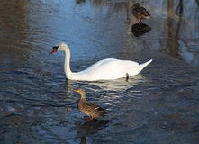 Swan and ducks Stock Photography