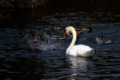 Swan. And ducks peaceful coexistence Stock Images