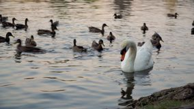 Swan and ducks on river. Swan and flock of wild ducks on river in Prague stock video footage
