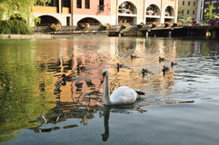 Swan and ducks in a river Stock Photos