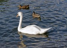 Swan and ducks on water surface. A swan and some ducks swimming on a river Royalty Free Stock Photo