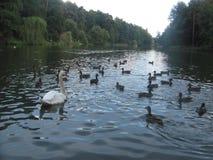 Swan and ducks Stock Photo