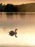 Swan at Dusk Stock Photo