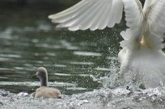 swan dziecka Fotografia Royalty Free