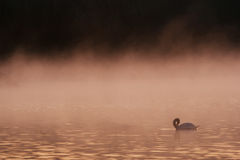 Swan in the Early Morning Mist. Swan swimming in the early morning mist with the background being dramatic Stock Photography