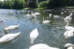 The Swan Eat-As-Much-As You Can Party. Feeding frenzy at the pond, the strong survives and the weak starves, nature makes sure all are fed royalty free stock photography
