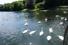 The Swan Eat-As-Much-As You Can Party. Feeding frenzy at the pond, the strong survives and the weak starves, nature makes sure all are fed stock image