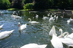 The Swan Eat-As-Much-As You Can Party. Feeding frenzy at the pond, the strong survives and the weak starves, nature makes sure all are fed royalty free stock images