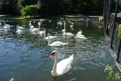 The Swan Eat-As-Much-As You Can Party. Feeding frenzy at the pond, the strong survives and the weak starves, nature makes sure all are fed royalty free stock image