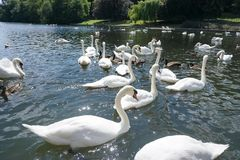 The Swan Eat-As-Much-As You Can Party. stock images