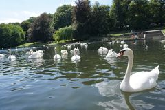 The Swan Eat-As-Much-As You Can Party. Feeding frenzy at the pond, the strong survives and the weak starves, nature makes sure all are fed stock photography