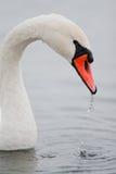 Swan eating Stock Image