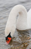 Swan Eating Royalty Free Stock Images