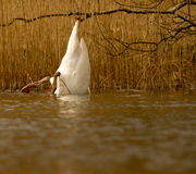 A swan is eating. In a lake Stock Photo