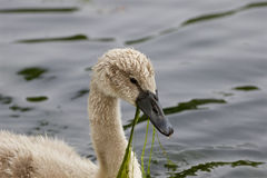 The swan is eating the algae Royalty Free Stock Images