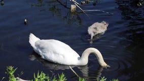 Swan eating. Beautiful swan eating in a pond stock video footage