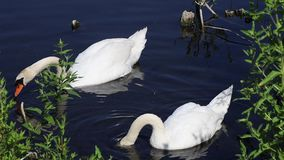 Swan eating. Beautiful swan eating in a pond stock footage