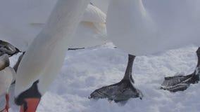 Swan eating bread crumbs stock footage