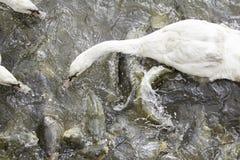 Swan eating carp Royalty Free Stock Photos