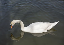 Swan eating food Stock Photo